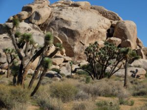 joshua-tree-xaps-rock